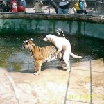 Dog Humping Tiger