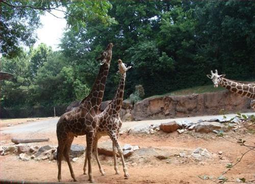 photobomb-giraffes