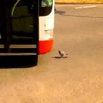 pidgeon-chicken-bus