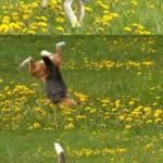 beagle-face-plant