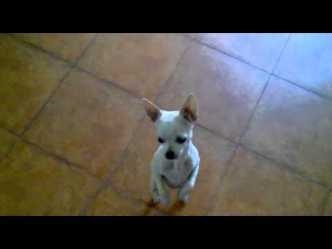 dancing-dog
