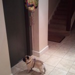 birthday-pug-balloon