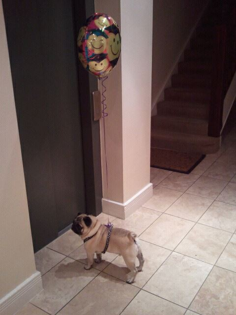 birthday-pug-balloon