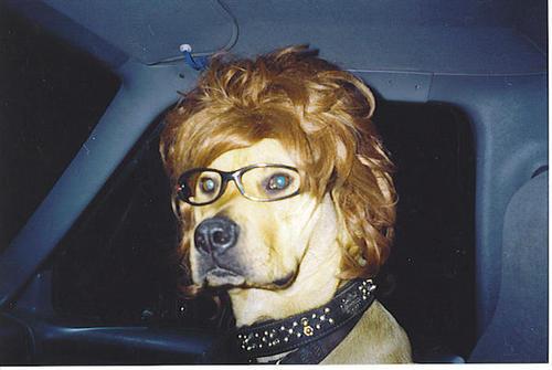 dog-car-wig-glasses
