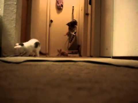 kittens-vacuum