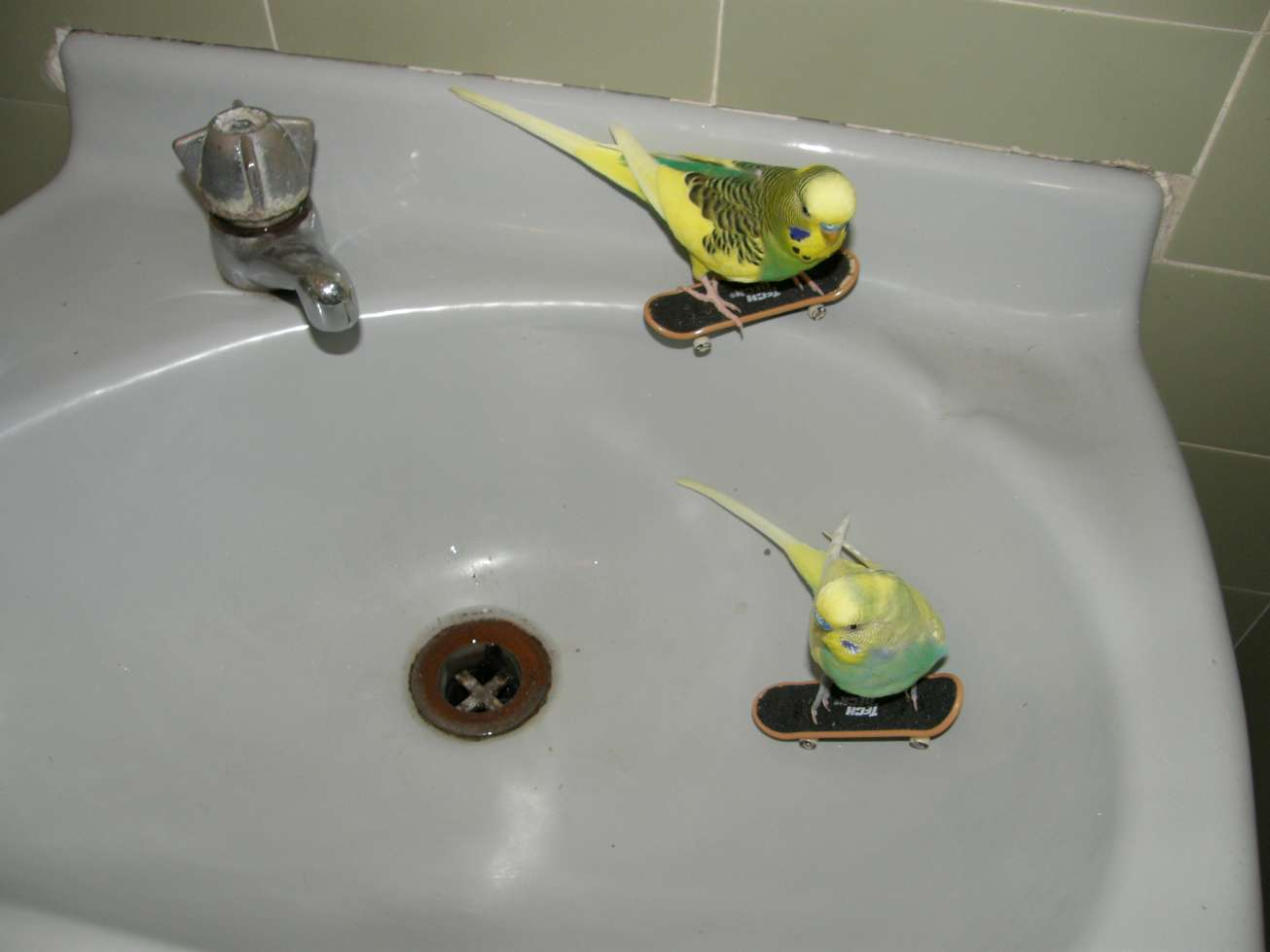 birds_skating_in_sink