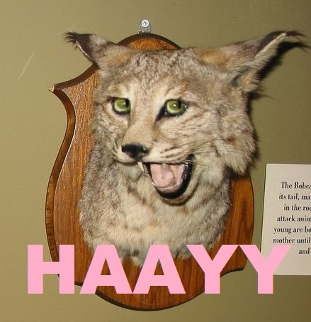 haayy-bobcat