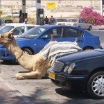 camel-parking