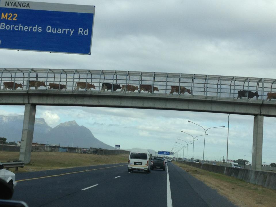 cattle-crossing-bridge