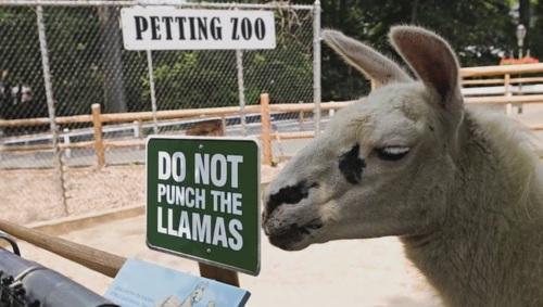 punch-llamas